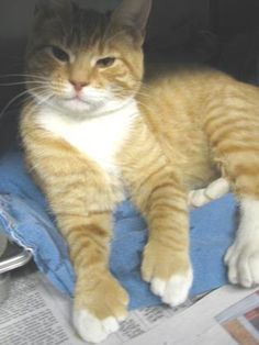 polydactyl cat on pinterest cats kittens and cat breeds
