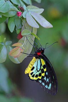 Birdwing butterfly- Ornithoptera richmondia Male