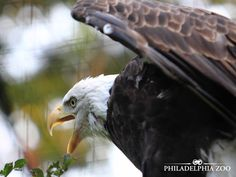 Bald eagles construct the largest nest of all North American birds. Eagles are known to reuse nests for many years, both by same individuals as well as different individuals. This moment was captured by Camera Club member Craig Lewis. All Birds, Birds Of Prey, Philadelphia Zoo, Bald Eagles, Nests, Reuse, North America, Club, American