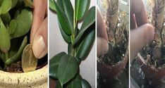 Ia-ti una dintre aceste plante in casa si norocul iti va bate la usa! Feng Shui, Vegetables, Erika, Usa, Vegetable Recipes, Veggies, America