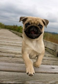 Pugs and other pug mixes might be tiny in appearance but are the greatest life companions. See why at http://barkingtails.com