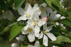 Malus John Downie crab-apple tree, ther definitive jelly crab.