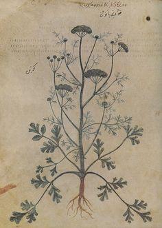 """Koriannon ê korion, Wiener Dioskurides, folio 155v, (copy of """"De materia medica"""" by Pedanius Dioscorides), 512 n. Chr."""