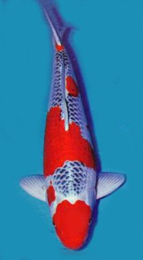 Goshiki - Koi with 5 color pattern made up of red, white, black, light blue and dark blue.  While most can be messy with all of the colors running together, there are others that are almost unreal in appearance.