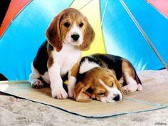 Beagle Babies! | Cutest Paw