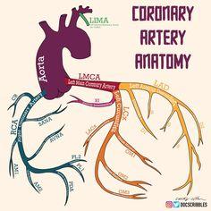 Arteries Anatomy, Cath Lab Nurse, Cardiac Sonography, Interventional Cardiology, Cardiac Nursing, Critical Care Nursing, Nursing School Notes, Medical Anatomy, Emergency Medicine
