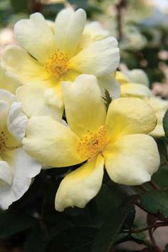 Cheerful yellow buds burst into creamy white flowers. These vigorous landscape-quality plants produce an abundance of fragrant flowers. Yellow Roses, White Flowers, Stark Brothers, Knockout Roses, Landscaping Retaining Walls, First Day Of Summer, Growing Roses, Rose Bush, Plantation