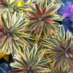 'Ascot Rainbow' Euphorbia - This wonderful evergreen perennial is a real treat. It has fantastic variegated foliage year round. In winter it becomes tinged with a pinkish red glow. And then in late winter/early spring it has clusters of chartreuse green flowers. Plant it in full sun with well-drained soil. It is drought adaptable. Ascot Rainbow is beautiful when planted in mixed perennial borders, annual beds, and container gardens.