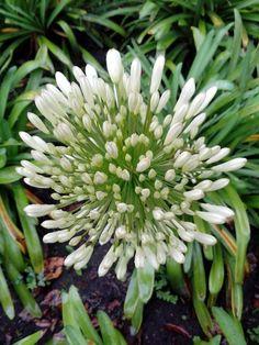 White agapanto flowers