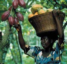 Cacao harvest in Ghana
