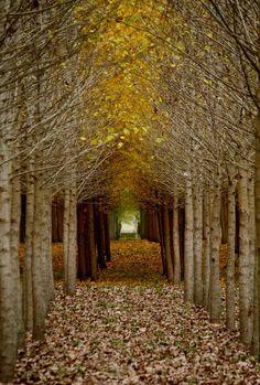 Golden Green Archway, Tree Orchard, Fairy Tale Wedding, Fall Photograph, Landscape Photography via Etsy. Beautiful World, Beautiful Places, Beautiful Forest, Landscape Photography, Nature Photography, Photography Tips, Wedding Photography, Tree Tunnel, Fotografia Macro