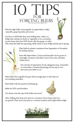 "10 Tips for Forcing Bulbs with ahealthylifeforme: To ""force"" a bulb means to create an environment where the bulb grows when it naturally wouldn't.You have to chill bulbs in a cool place in your house that does NOT freeze, like the garage or cellar. This tricks the bulb into sprouting, think winter is your fridge and the pot is spring. #Gardening #Forcing_Bulbs"