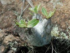 CAUDICIFORM Pachypodium densiflorum