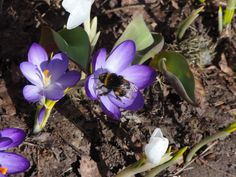 """Kevään ensi kimalainen ©Tamara Kirves: """"Krookukset kukkivat kukkapenkissä aurinkoisena kevätpäivänä. Kukkaan lentää kimalainen, josta otan kuvan."""""""