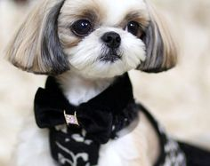 Ranked as one of the most popular dog breeds in the world, the Miniature Schnauzer is a cute little square faced furry coat. Maltese Shih Tzu, Shih Tzu Puppy, Shih Poo, Shih Tzus, Dog Grooming Styles, Pet Grooming, Corte Shitzu, Cute Puppies, Cute Dogs