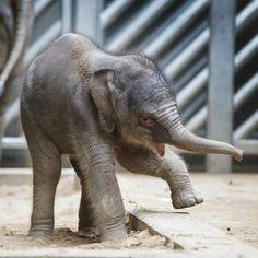 Prague Zoo baby elephant