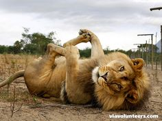 Volunteer abroad with Via volunteers in South Africa and join a dedicated team and contribute to the running of a genuine sanctuary for captive born lions that cannot be rehabilitated into the wild. This is an ethical wildlife conservation project.  https://www.viavolunteers.com/volunteer-south-africa-cape-town-lion-tiger-sanctuary