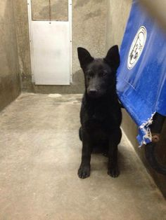 ADOPTED!  - Shepherd mix female less than a year old  Kennel A20  Available 1-21-2014****$51 to adopt   LOCATED AT ODESSA TEXAS ANIMAL CONTROL https://www.facebook.com/photo.php?fbid=715353348488906&set=a.652696841421224.1073741848.248355401855372&type=3&theater