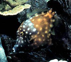 Cantherhines macrocerus - Wikipedia, the free encyclopedia