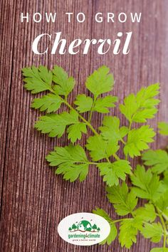 Chervil is an unusual herb that most people don't know about although it is easy and quick to grow. Learn here how to grow this unusual herb in your garden! #gardening #gardeningtips #permaculture  #homesteadgarden #organicgardening #homesteading #urbangardening #vegetablegardening #growingfood #gardening4climate #gardeningforclimate #herbs #herbgardening Sustainable Gardening, Vegetable Gardening, Container Gardening, Organic Gardening, Gardening Tips, Growing Herbs At Home, Indoor Herbs, Homestead Gardens, Modern Homesteading