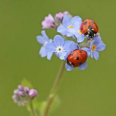 Marienkäfer auf Blume.