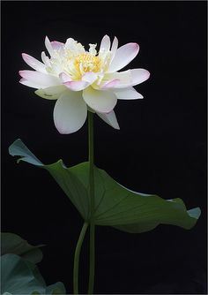 Lotus Flower - IMG_1187 | by Bahman Farzad