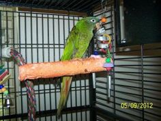 Beau is an adoptable Conure Parrot in Lexington, GA.  Beau is a great little Blue Crown Conure. He's fairly cage aggressive but once out is a sweetie. He's pretty quiet for a Conure and will make a wo...