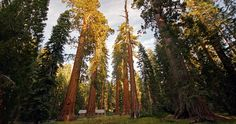 Giant sequoia || Image link: https://www.savetheredwoods.org/wp-content/uploads/AboutRed_Giant_large_mariposaGrove_yosemite_Allie_CaufieldFCC.jpg