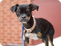 Detroit, MI - Pug/Chihuahua Mix. Meet Lilo, a puppy for adoption. http://www.adoptapet.com/pet/10731129-detroit-michigan-pug-mix