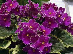 Наверно не многие знают, что у распространенного комнатного растения фиалка есть другое не менее красивое название – сенполия. Травянистое растение сенполия, относится к семейству геснериевых и насчи…