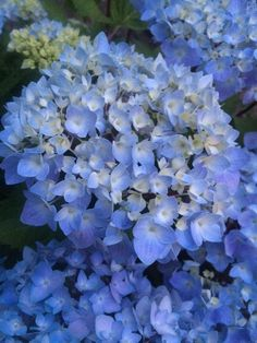 New for 2015 - Monrovia - Blue Enchantress® Hydrangea.  Reblooming.  Grows to 3-5 ft.  needs acidic soil to bloom blue.