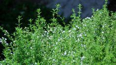 Echter Thymian (Thymus vulgaris)