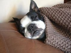 Best Nap EVER! A cute Boston Terrier counts as spiffy dog stuff in our book! Boston Terrier Love, Boston Terriers, Cute Puppies, Cute Dogs, Baby Animals, Cute Animals, Sleeping Animals, Toy Fox Terriers, Mans Best Friend