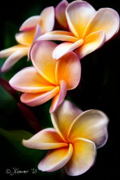 ~~ Plumeria (frangipani) by Judy V. Kennemar ~~