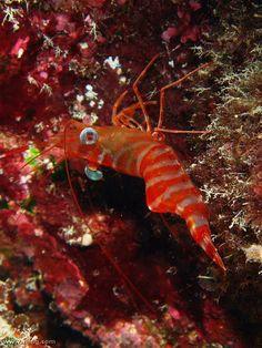 Striped Hingebeak Shrimp (Cinetorhynchus striatus). Clem7, Davies Reef, Great Barrier Reef | by richard ling