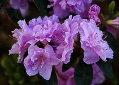 Lovely purple azaleas and a post on words in English and Spanish that are similar http://www.bubblews.com/news/2158561-my-advanced-words-words-in-english-and-spanish-that-are-similar-list-26