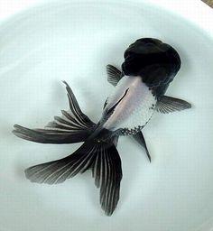Black and White Oranada