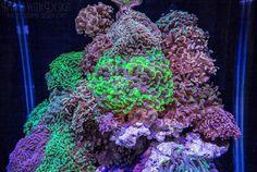 The Hammer Coral Cube is a Euphyllia-dominated masterpiece Marine Aquarium, Saltwater Aquarium, Coral Garden, Corals, Aquariums, Fish Tank, Cube, Gardens, Ocean