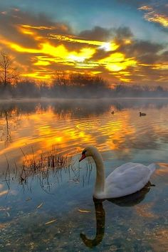 Dawn of the Swan ~
