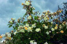 Ramblerrose mit kleinen gelben Blüten. Ab € 19,96. Grosse Pflanzen ✔ Schonender Transport ✔ Eigene Züchtung ✔ Deutsche Produktion, Schweizer Wurzeln ✔