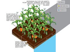 This garden layout could yield around 100 ears of corn, and all the crops can be dried or stored well into the winter. #Gardening