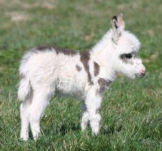 Miniature donkey foal !
