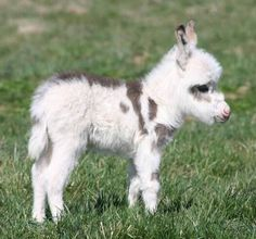 Miniature donkey foal !.....awwwwww