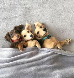 Is this the Can Can? ❤️ cute pic @the_3_weenies #dachshund #dachshundoftheday #dachshundlove #ilovedachshunds #sausagedog #ilovemydoxie #doxiepuppy #puppylove #doxiewatch #doxie #puppies #doxiewatches #dogoftheday #picoftheday #instapuppy #minidoxie #minidachshund #dackel #weiner #doxiesdownunder #puppy #puppylove #puppygram #dachshunds