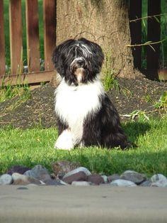 My Tibetan Terrier Pronto