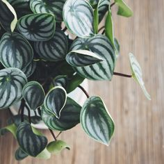 House plants: though not as well known among house plants, the radiator plant (Peperomia) tolerates a wide range of conditions, doing best a moist, humid location. Here's how to use it in a container http://www.gardenersworld.com/how-to/projects/greenhouse/plant-an-indoor-foliage-display/3583.html