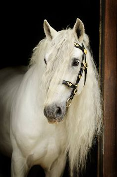 Andalusian stallion Express Pyramid  Photographed by Emmy Eriksson