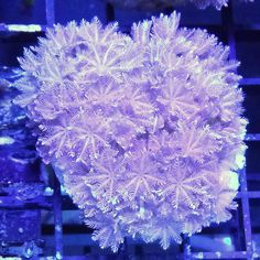 """Pom Pom Xenia Frag - Xenia sp. (ORA)   Pom Pom Xenia colonies, much like their Pulsing Xenia cousins, grow rapidly and can dominate an aquarium quickly under ideal conditions. Pom Pom Xenia colonies have shorter, thicker """"stalks"""" than the traditional Pulsing Xenia and usually will have a bushier appearance as a result."""
