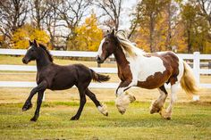 Daily Dose - April 5, 2016 - Fall Frolic - Gypsy Vanner Mare and Foal   2016©Barbara O'Brien Photography