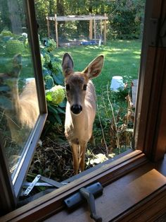 Deer looking inside a window